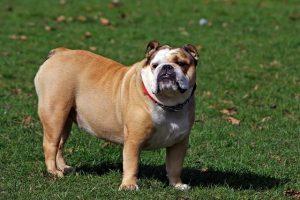 imagen de un bulldog ingles muy grande en el jardin