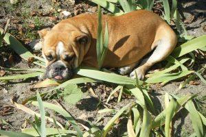 imagen de un bulldog ingles tumbado descansando en la playa