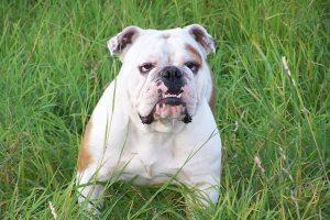 imagen de un bulldog pachon atento en el campo