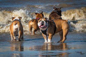 imagen de un bulldogs ingles jugando en la playa con el agua