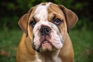 imagen de un cachorro de bulldog ingles sentado y atento en el jardin