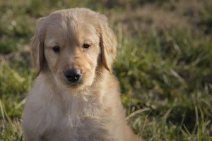 imagen de un cachorro de golden retriever atento al juego en el jardin