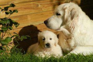 imagen de un cachorro de golden retriever con su madre