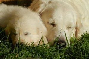 imagen de un cachorro de golden retriever con su madre durmiendo en el jardin