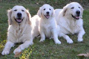 imagen de un cachorro de golden retriever con su madre y su padre tumbados y posando en el jardin