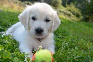 imagen de un cachorro de golden retriever con su pelota tumbado en el jardin
