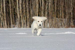 imagen de un cachorro de golden retriever corriendo en la nieve