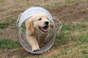 imagen de un cachorro de golden retriever jugando en el jardin