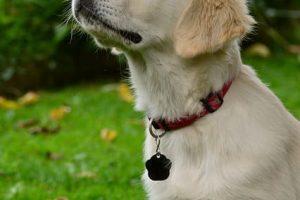 imagen de un cachorro de golden retriever muy atento en el jardin