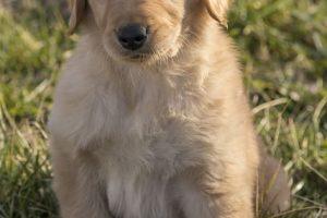 imagen de un cachorro de golden retriever pensativo en el jardin