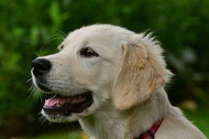 imagen de un cachorro de golden retriever posando en el campo