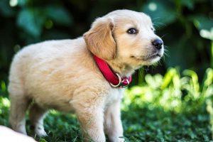 imagen de un cachorro de golden retriever preparado para jugar en el jardin