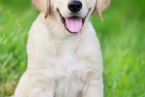 imagen de un cachorro de golden retriever sentado en el jardin sonriendo