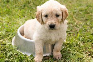 imagen de un cachorro de golden retriever sentado en un comedero en el campo