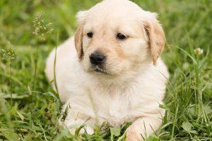 imagen de un cachorro de golden retriever tumbado en el jardin