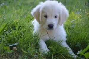 imagen de un cachorro de golden retriever tumbado en el jardin muy tranquilo