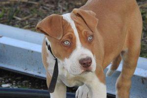 imagen de un cachorro de pitbul junto a la vaya en el campo