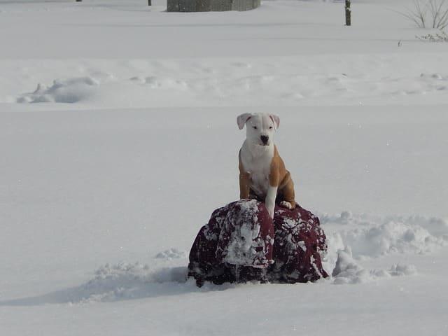 imagen de un cachorro de pitbull jugando en la nieve