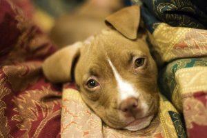 imagen de un cachorro de pitbull tumbado en la manta