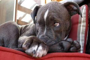 imagen de un cachorro de pitbull tumbado en la silla