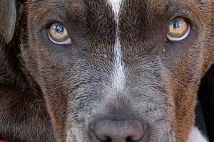 imagen de un cachorro de pitbull tumbado y atento