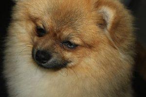 imagen de un cachorro de pomerania cansado