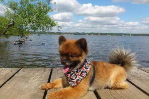 imagen de un cachorro de pomerania marron y gris tumbado en el muelle del lago