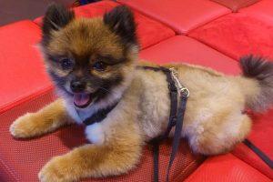 imagen de un cachorro de pomerania tumbado en un sofa rojo
