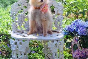 imagen de un cachorro pomerania sentao en una silla del jardin lleno de flores
