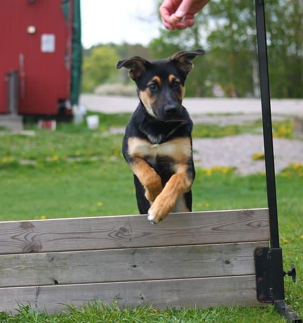 imagen de un cachorro saltando valla agility educacion