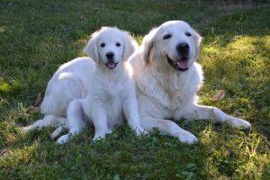 imagen de un cachorro y madre de golden retriever tumbados en el jardin