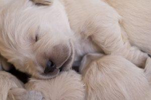 imagen de un cachorros de golden retriever recien nacidos