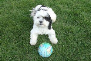 imagen de un cachorro de Shih Tzu sentado en el jardin con su pelota