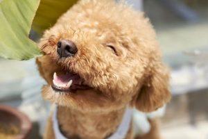 Caniche beige feliz