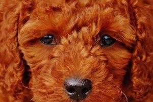 Imagen de un cachorro caniche color marrón