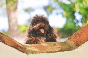 imagen de un perro caniche marrón