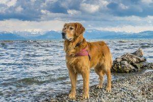 imagen de un golden retriever anciano en la playa posando