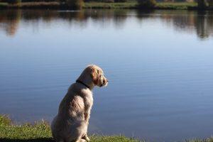 imagen de un golden retriever atento al ague del lago