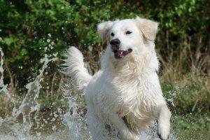 imagen de un golden retriever jugando en el agua del rio