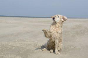 imagen de un golden retriever jugando en la playa posando