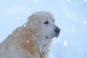 imagen de un golden retriever sentado en la nieve posando