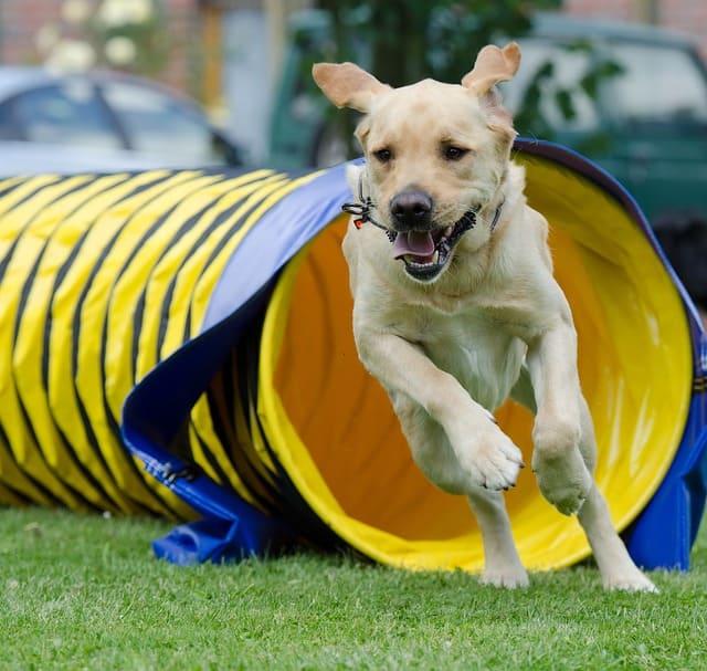imagen de un labrador saliendo de tunel agility