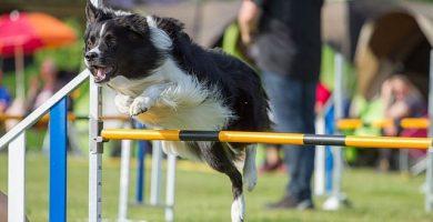 perro colllie saltando valla agility