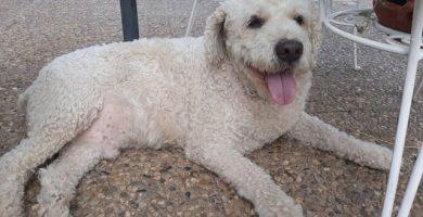 imagen de un perro de agua blanco tumbado en el jardin muy agusto