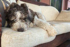 imagen de un perro de agua negro y blanco tumbado en el sofa de casa