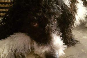 imagen de un perro de agua negro y blanco tumbado en el suelo de casa