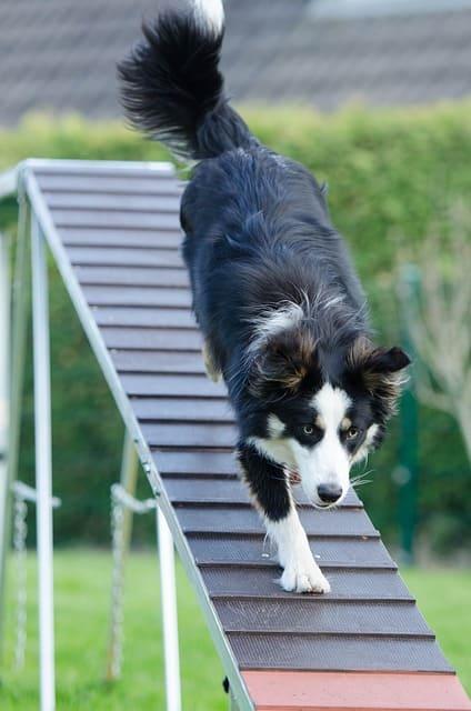 imagen de un perro grande bajando rampa agility