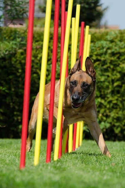 imagen de un perro grande corriendo en eslalom agility