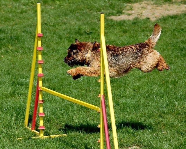 imagen de un perro mini haciendo salto de valla agility