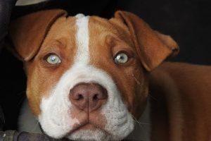 imagen de un pitbull atento